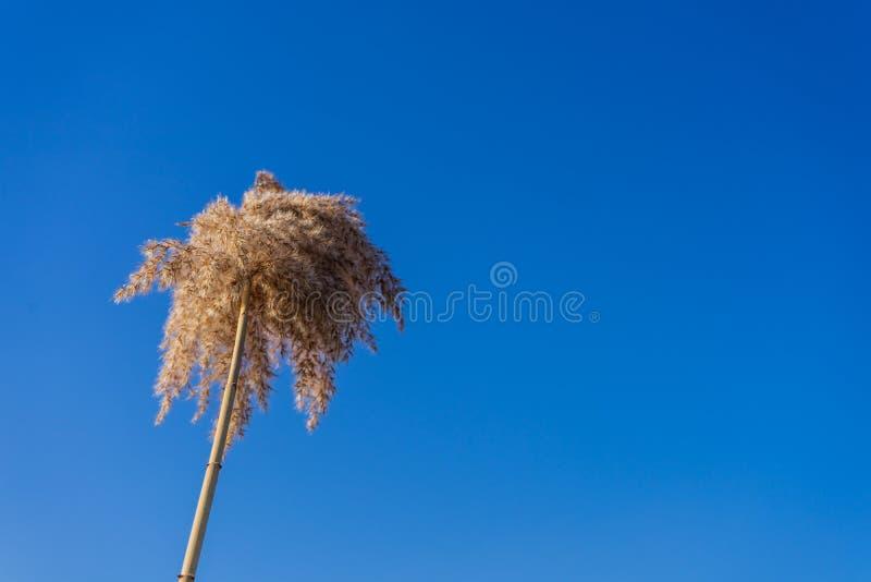 Wildflower sec pelucheux dans le ciel bleu Jour brillant photos libres de droits