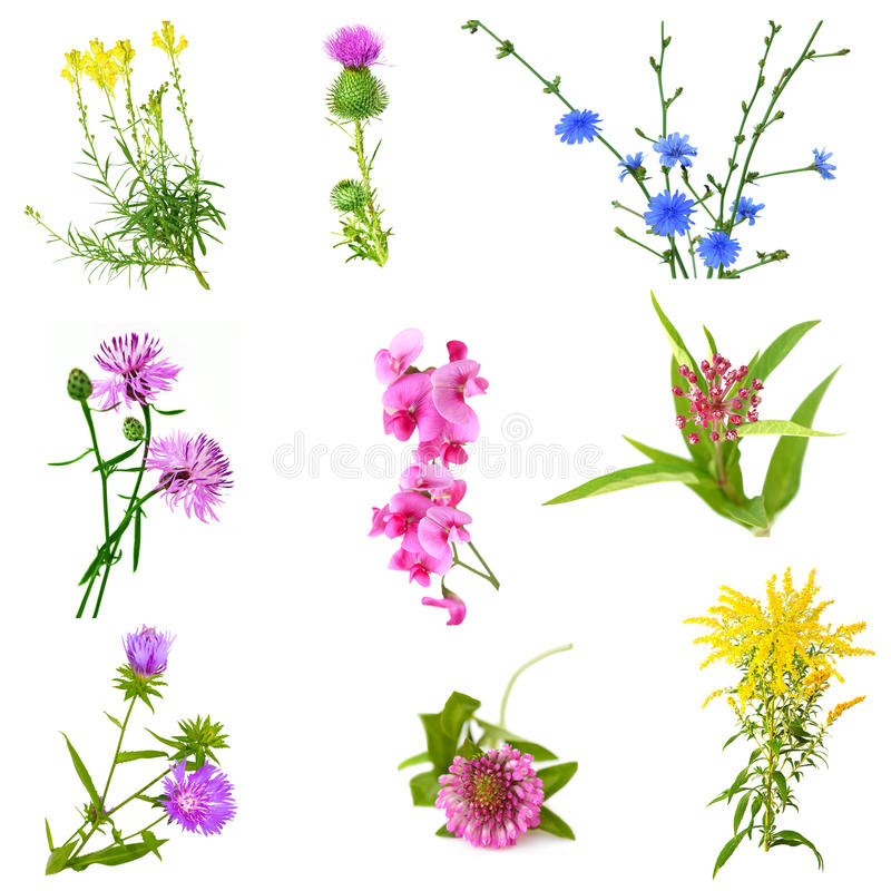 Free WildFlower Set Royalty Free Stock Images - 11171319