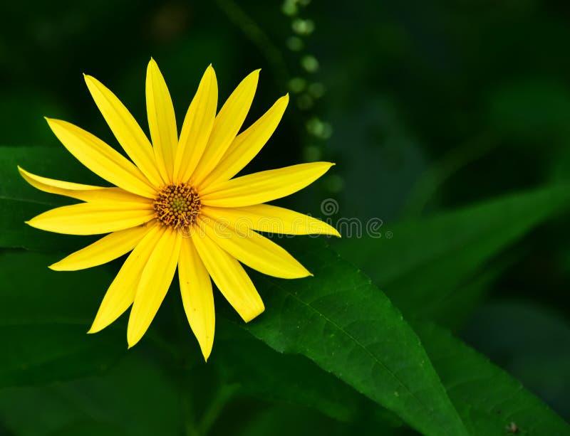 Wildflower - Sunny Smile - Wild Houten het Wildtoevluchtsoord van Zonnebloemennecedah, Wisconsin, de V.S. stock foto's