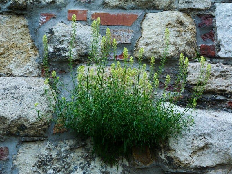 Wildflower vert et jaune s'élevant hors des fissures de mur en pierre photo stock