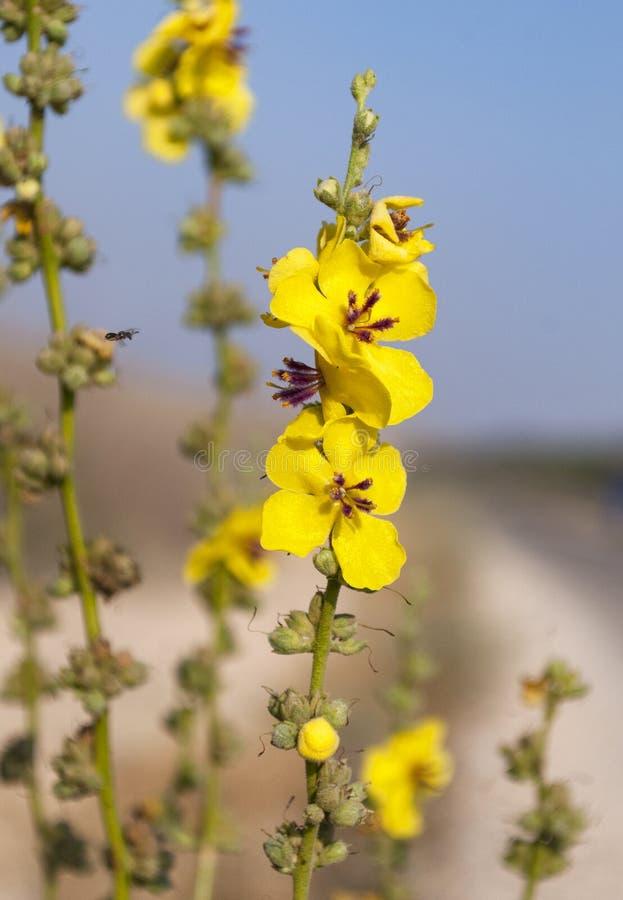 Wildflower Vieira-com folhas de Mullein com um fundo obscuro fotografia de stock
