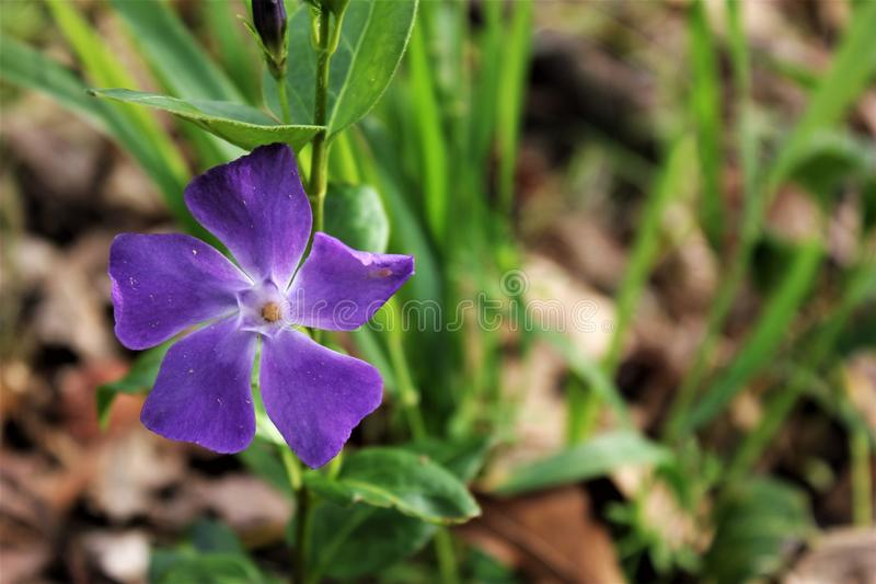 Wildflower Violet Purple with left off Center stock photos