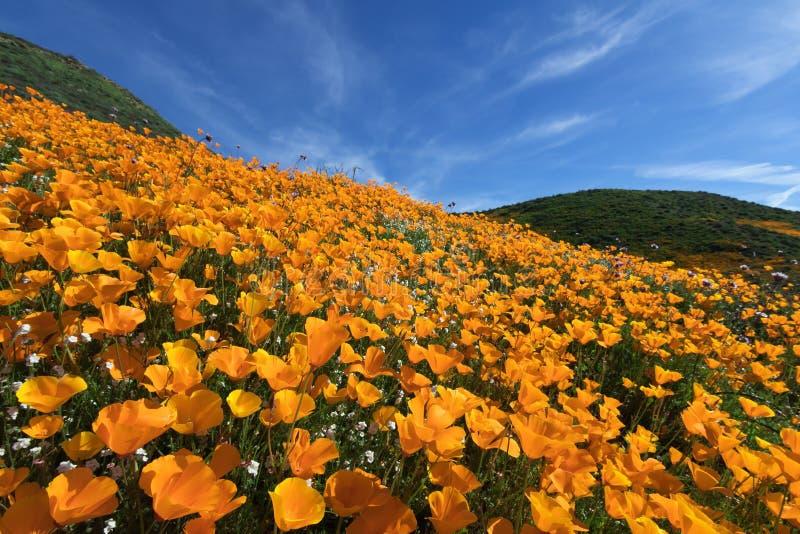 Wildflower w Jeziornym Elsinore obraz stock
