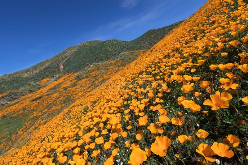 Wildflower w Jeziornym Elsinore zdjęcie royalty free