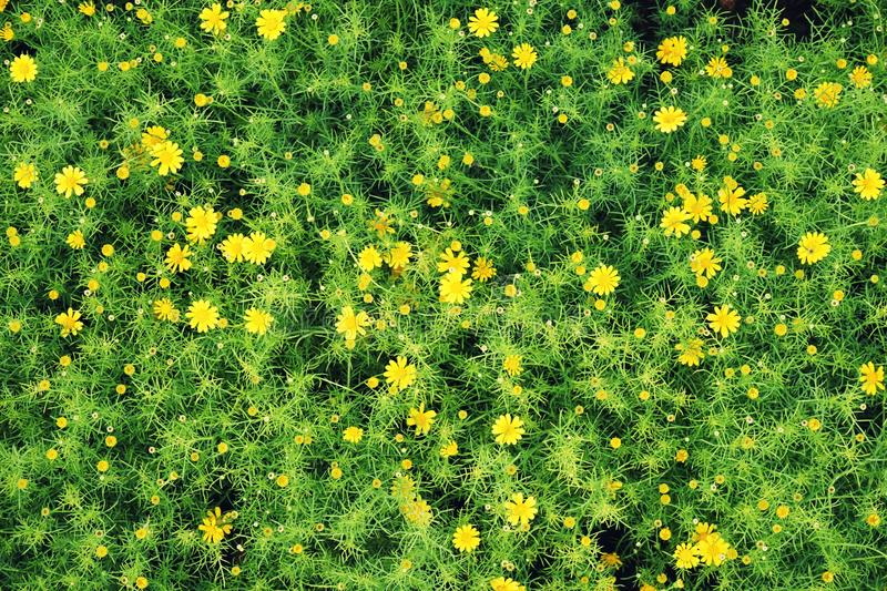 Wildflower yellow daisy garden planting texture background, backdrop concept. Copy space stock images