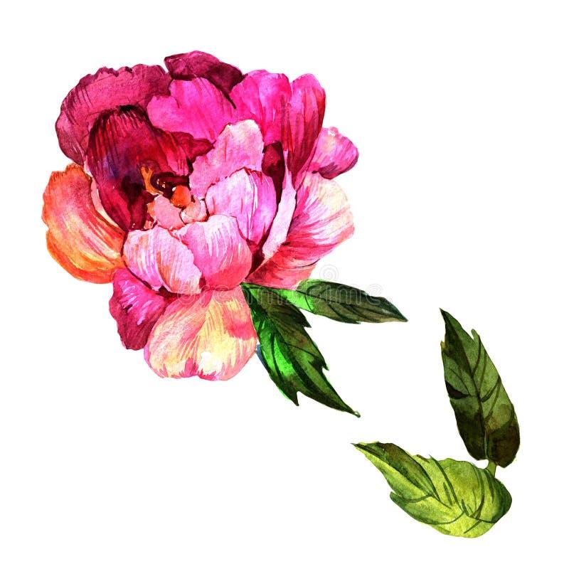 Wildflowerpfingstrosenblume in einer Aquarellart lokalisiert lizenzfreie abbildung