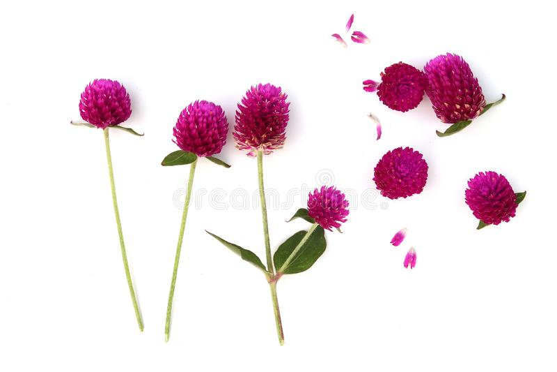 Wildflowers αμάραντων σφαιρών που ανθίζουν το καλοκαίρι, αμάραντος σφαιρών  στοκ φωτογραφία με δικαίωμα ελεύθερης χρήσης