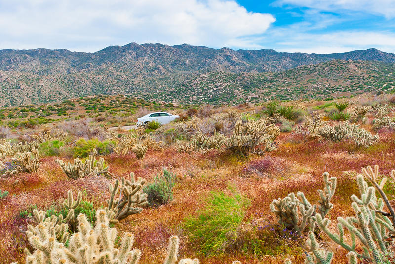 Wildflowers και κάκτος ερήμων στην άνθιση στην έρημο Anza Borrego Γ στοκ φωτογραφίες