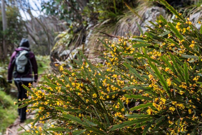 Wildflowers και οδοιπόρος στο υποστήριγμα Hotham, βικτοριανές Άλπεις, Αυστραλία στοκ φωτογραφία
