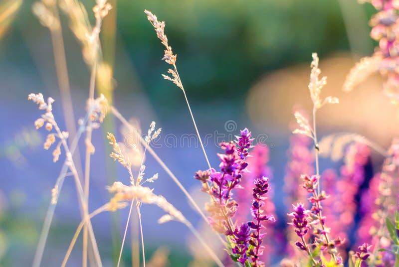 Wildflowers και χλόη στις ακτίνες ηλιοβασιλέματος για το υπόβαθρο στοκ φωτογραφία