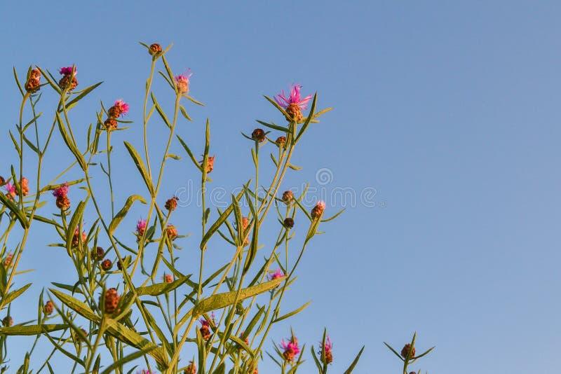 Wildflowers με τα ρόδινα λουλούδια ενάντια στον ουρανό στοκ φωτογραφίες