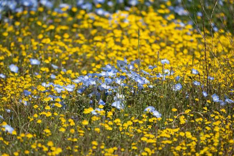 Wildflowers μπλε ματιών μωρών στη μέση ενός τομέα των κίτρινων μαργαριτών βουνοπλαγιών σε Καλιφόρνια κατά τη διάρκεια της έξοχης  στοκ φωτογραφία με δικαίωμα ελεύθερης χρήσης