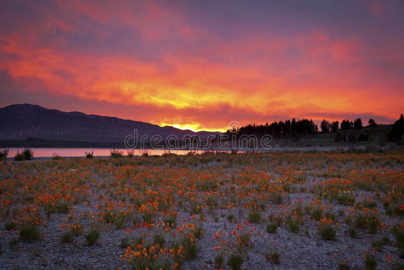 Wildflowers στην ανατολή στις τράπεζες της λίμνης Tekapo στοκ εικόνες