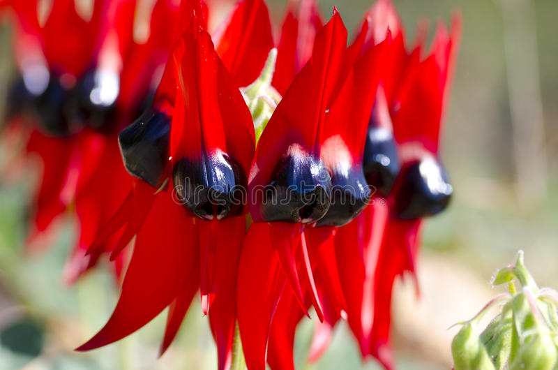 wildflowers Австралии стоковое изображение