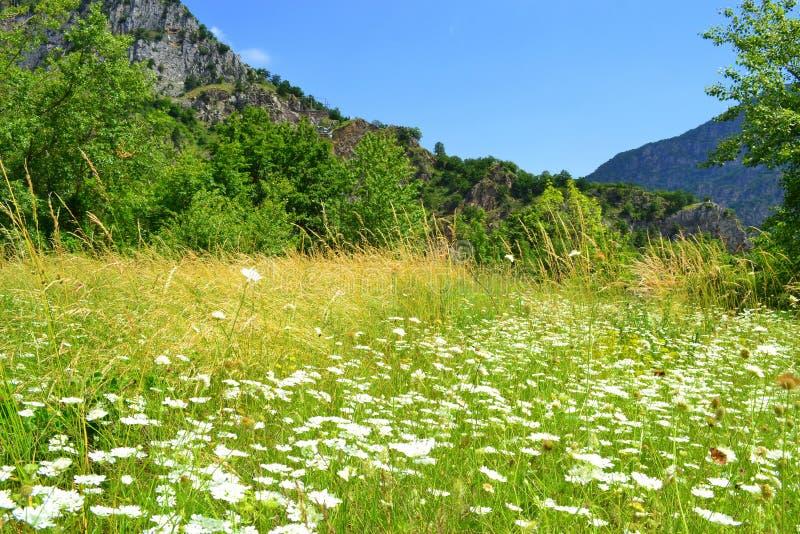 Wildflowers белизны луга горы стоковые фотографии rf