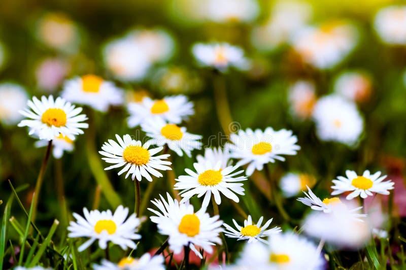 Wildflowers весеннего времени группы крупного плана белых маргариток стоковые изображения rf