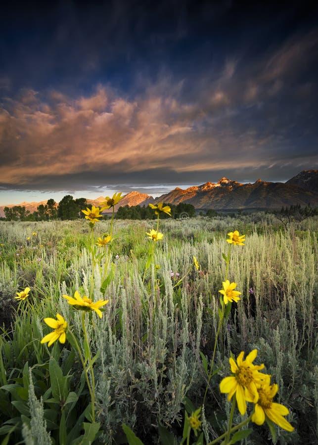 Wildflowers в Tetons стоковые изображения rf