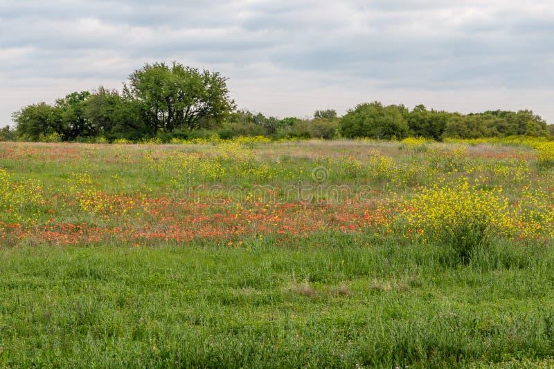 Wildflowers индийского paintbrush в стране холма Техаса стоковые изображения rf