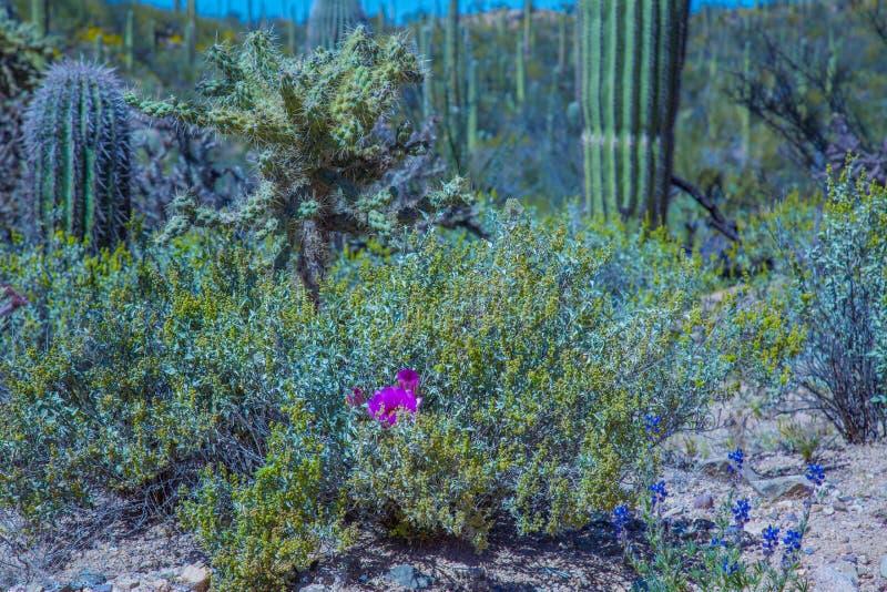 Wildflowers и кактус национального парка Saguaro Аризоны стоковые фото
