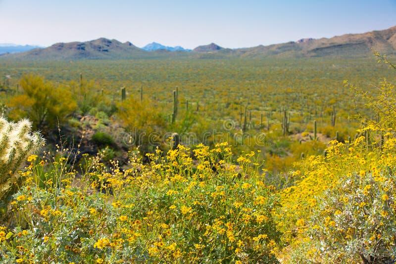 Wildflowers и кактус национального парка Saguaro Аризоны стоковое изображение