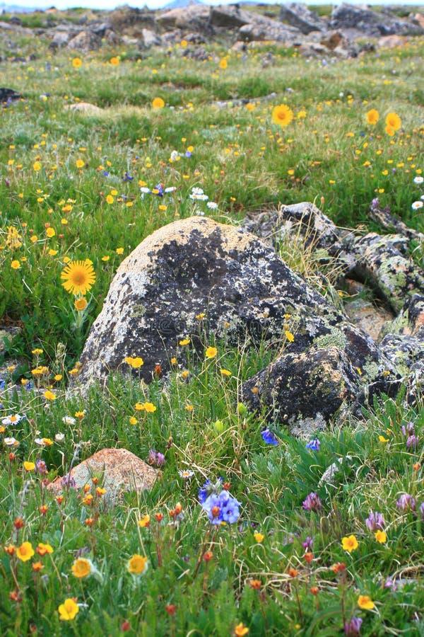 wildflowers национального парка горы утесистые стоковые фотографии rf