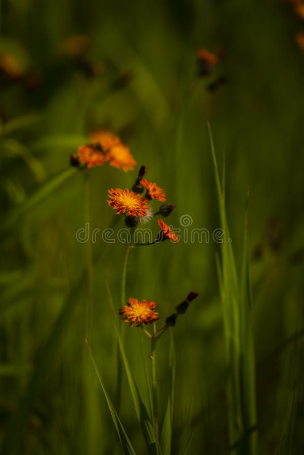 Wildflowers оранжевого hawkweed стоковые фотографии rf