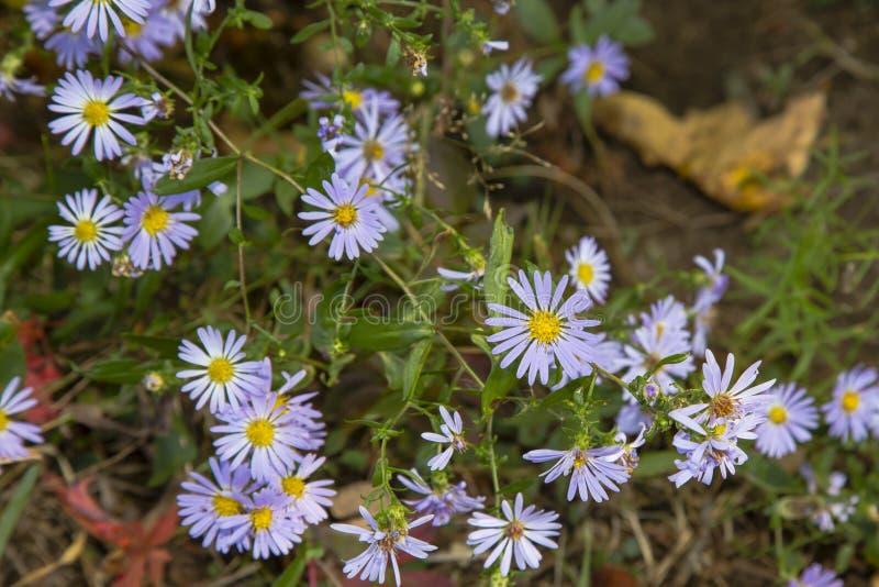 Wildflowers падения: Ровная голубая астра стоковые изображения rf