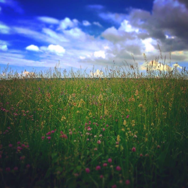 Wildflowers Пенсильвании стоковые изображения rf