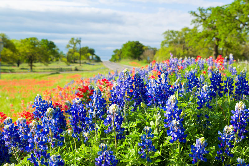 Wildflowers Техаса затопленные в солнечности утра стоковые фотографии rf