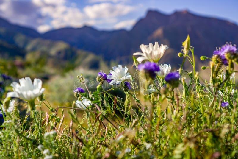 Wildflowers цикория и Phacelia пустыни зацветая в парке штата во время цветеня весны супер, юге Калифорния пустыни Anza Borrego стоковая фотография rf