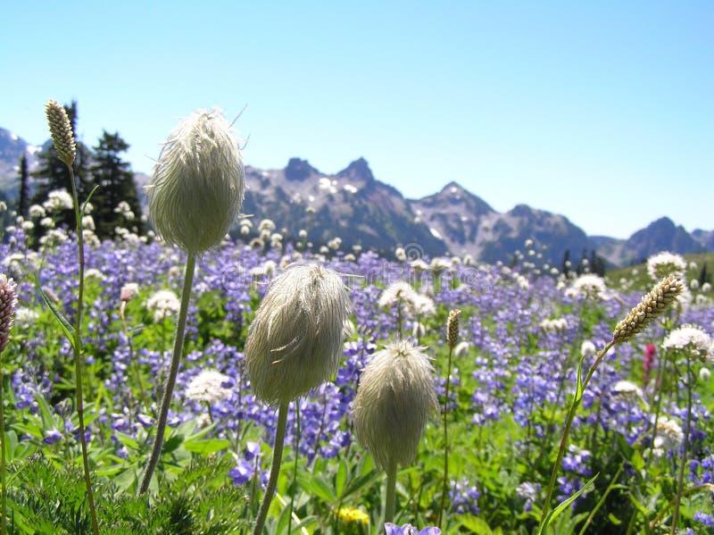 Wildflowers al Mt. più piovoso immagine stock libera da diritti