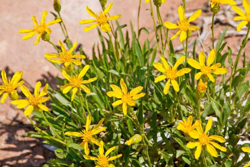 Wildflowers amarelos do deserto no parque nacional dos arcos foto de stock royalty free