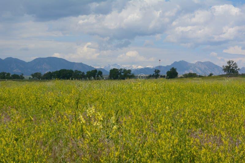 Wildflowers amarelos do witgh da paisagem do verão de Colorado fotografia de stock royalty free