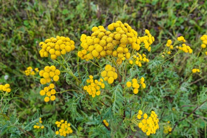 Wildflowers amarelos em um fundo do close-up da grama verde fotos de stock