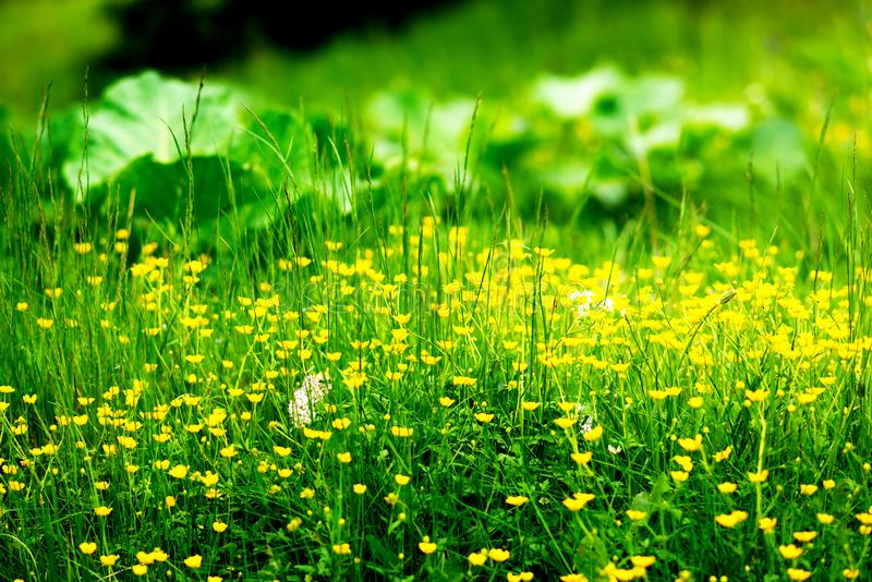 Wildflowers amarelos entre a grama luxúria verde fotografia de stock