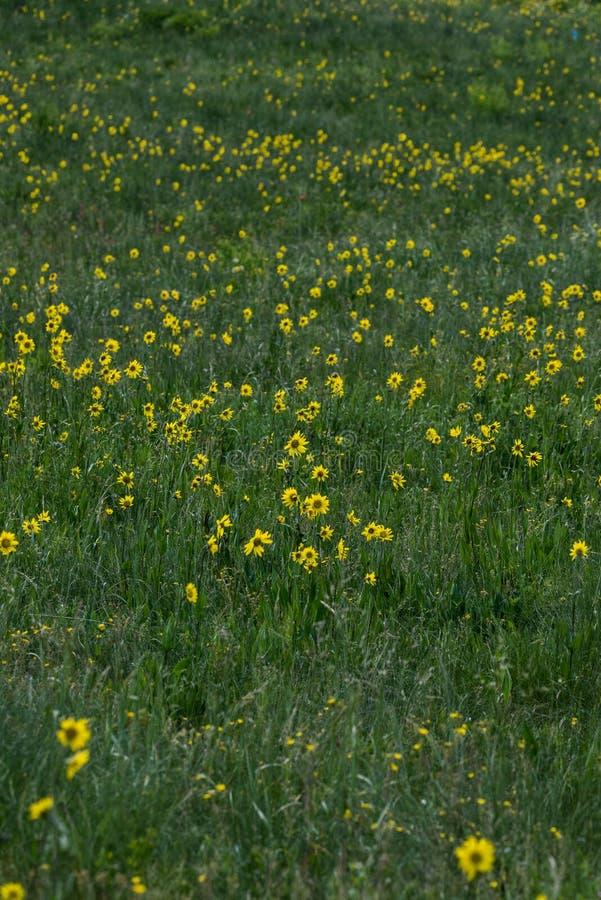 Wildflowers amarelos na grama verde imagem de stock royalty free