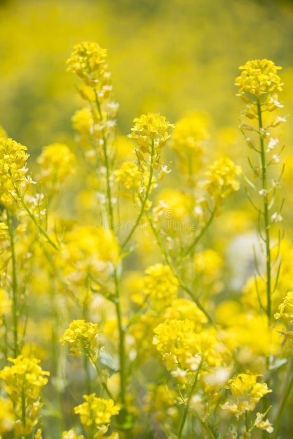 Wildflowers amarelos que florescem no prado Rocky Mountains da montanha de Colorado, EUA fotografia de stock royalty free
