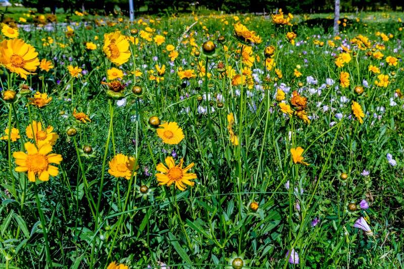Wildflowers amarillos brillantes hermosos de Lanceleaf Coresopsis en un Fi imagenes de archivo