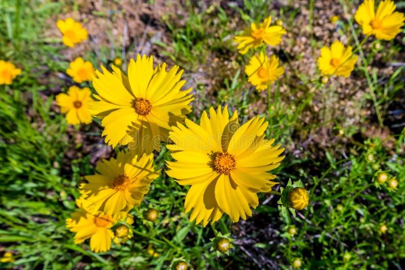 Wildflowers amarillos brillantes hermosos de Lanceleaf Coresopsis en un Fi fotografía de archivo