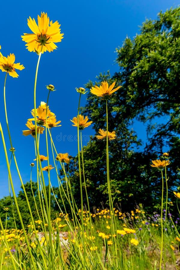 Wildflowers amarillos brillantes hermosos de Lanceleaf Coresopsis en un Fi fotografía de archivo libre de regalías