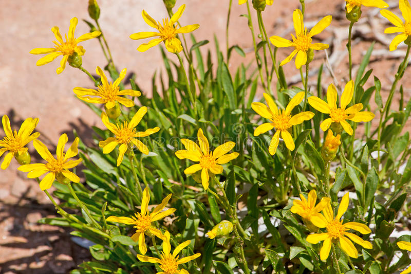 Wildflowers amarillos del desierto en parque nacional de los arcos foto de archivo libre de regalías