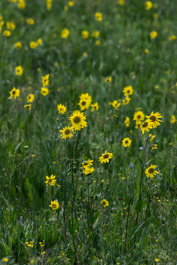 Wildflowers amarillos en hierba verde imagenes de archivo