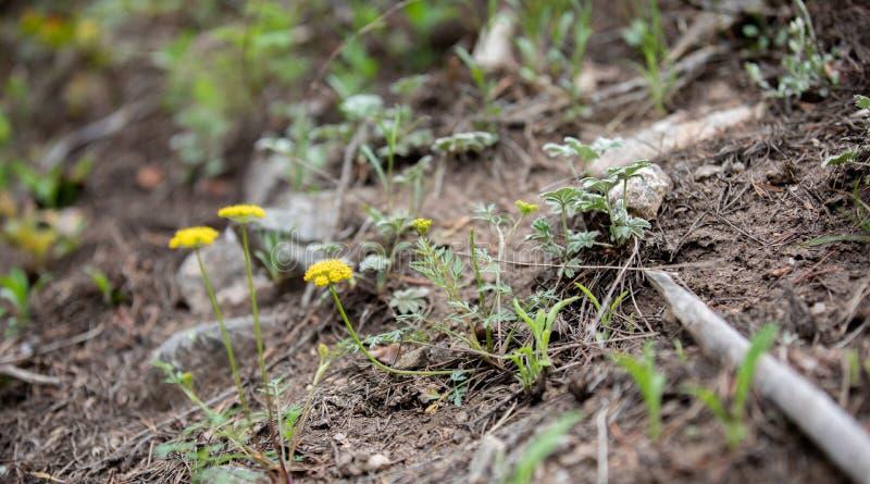 Wildflowers amarillos en Rocky Mountain National Park fotografía de archivo libre de regalías