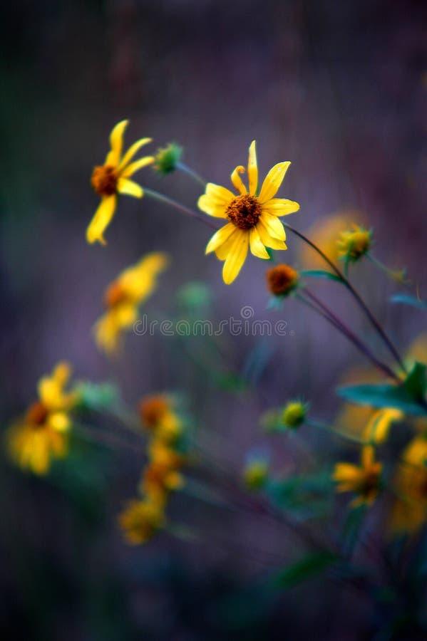 Wildflowers amarillos en un prado del campo imagenes de archivo