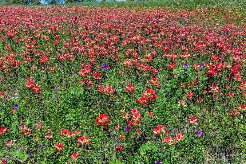 Wildflowers arancio del pennello indiano nel Texas immagini stock libere da diritti