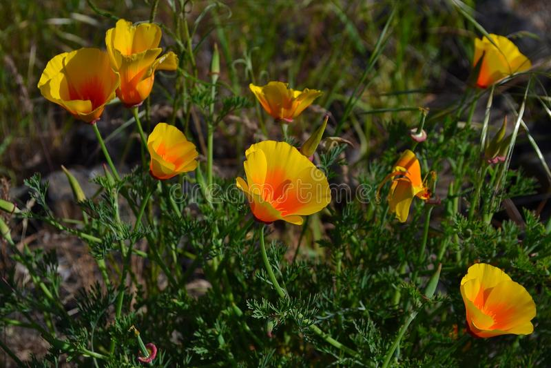 Wildflowers arancio & gialli immagini stock