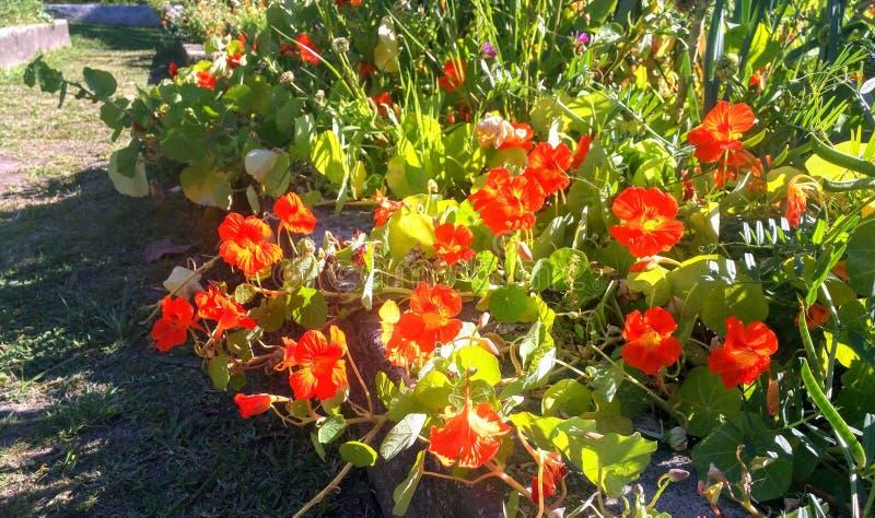 Wildflowers arancio in un giardino fotografia stock