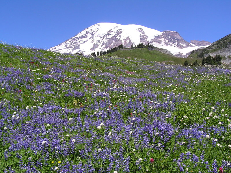 Wildflowers au Mt. plus pluvieux photo libre de droits