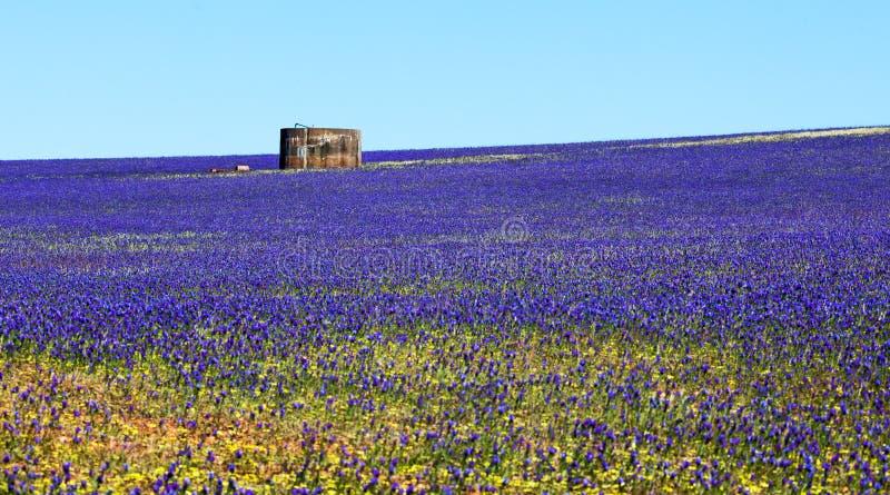 Wildflowers azuis Geraldton de Lechenaultia fotos de stock