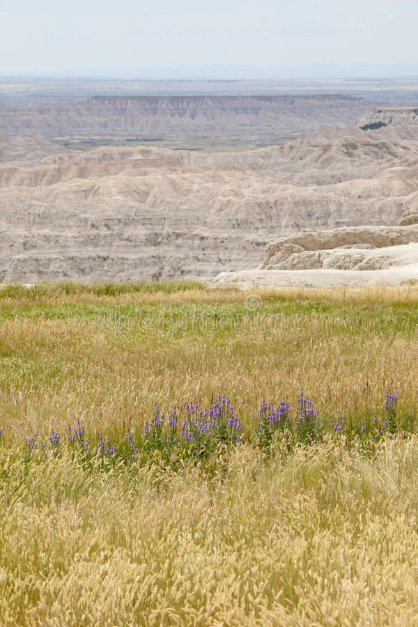 Wildflowers in the badlands. Purple wildflowers in badlands national park stock images